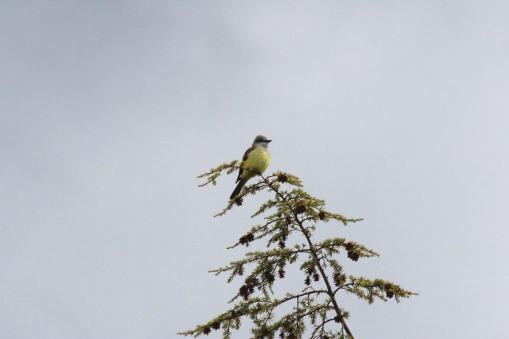 Western Kingbird at UBC