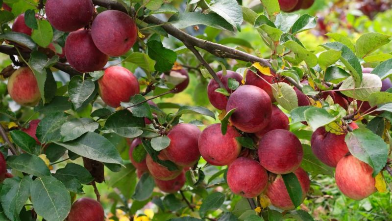 5 Places To Go Apple Picking Crazy Across America