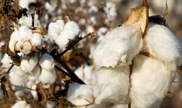 Cotton in the field, up close and personal