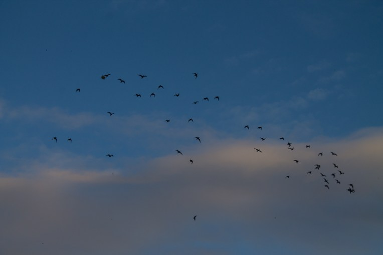 A lot of geese in the sky roused by the wind.