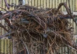 The bird's nest hidden in the vines is now visible.