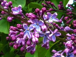 The lilac has started to bloom.