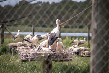 The storks in the aviary cages seen through the net.
