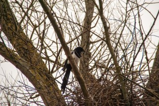 The magpie was busy building his nest and didn´t notice the solar eclipse.