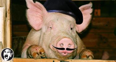 pig_conspiracy