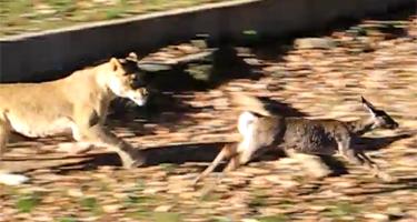 deer_jumps_into
