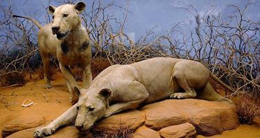 tsavo_lions