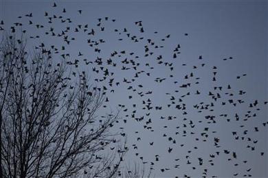 blacbirds_kentuckyE