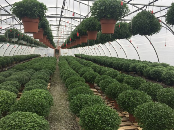 The greenhouse is literally filled to the rafters with fresh mums.