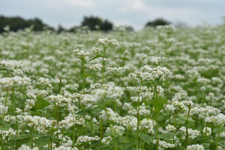 Buckwheat Field - Weatherbury Farm