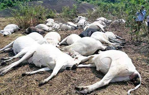 BREAKING!!! Over 30 Cows Mysteriously Died in Ondo State