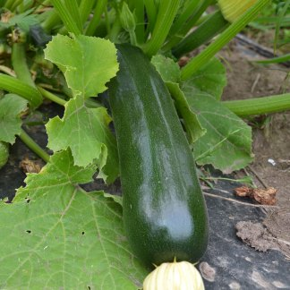 We Grow Zucchini