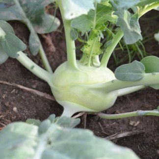 We Grow Kohlrabi