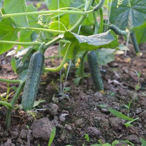We Grow Cucumbers