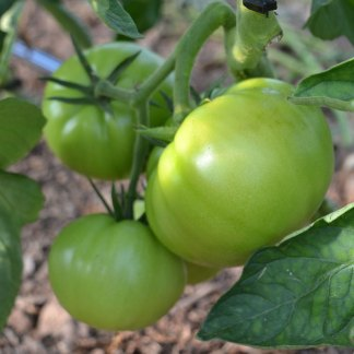 We Grow Tomatoes