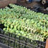 We Grow Brussel Sprouts