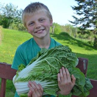 We Grow Napa Cabbage