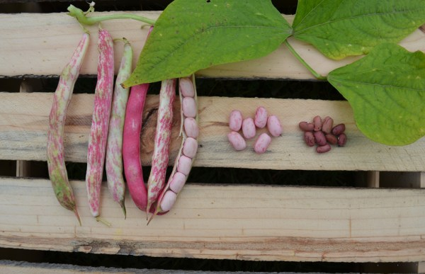 Cranberry Shelling Beans at We Grow LLC