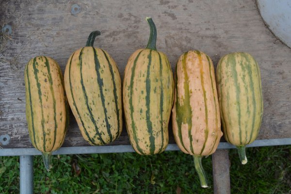 Delicata Winter Squash at We Grow LLC