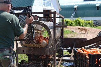 Carrots at Stoney Acres Farm