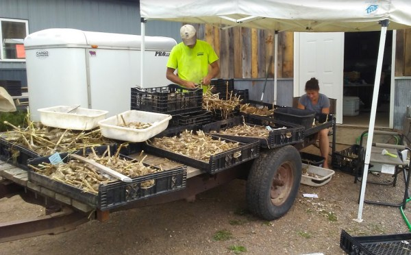 Cleaning garlic at We Grow