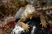 Large male Land Iguana