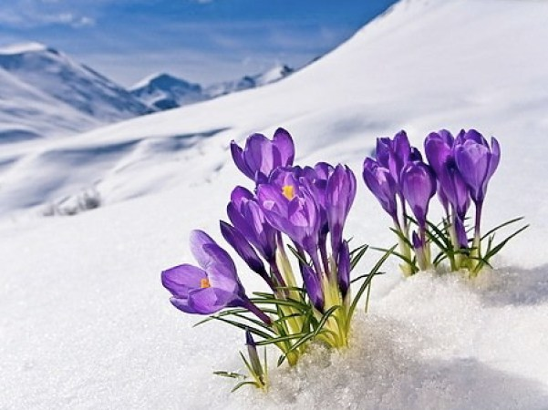 crocus-flower-peeking-up-through-the-snow-spring-southcentral-alaska-403fl-cy0038d001