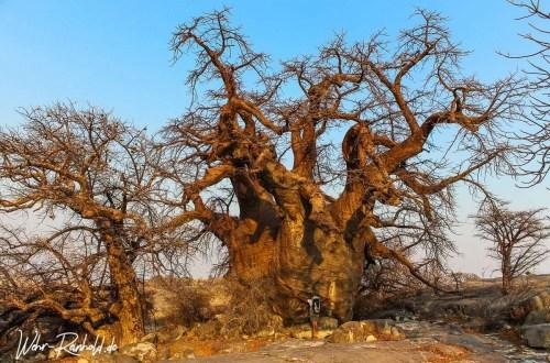 Baobab Kubu Island