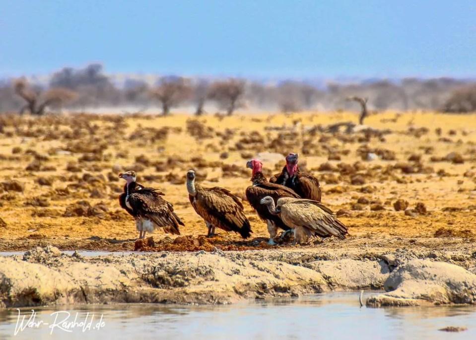 Ohrengeier (Lappet-faced Vulture)