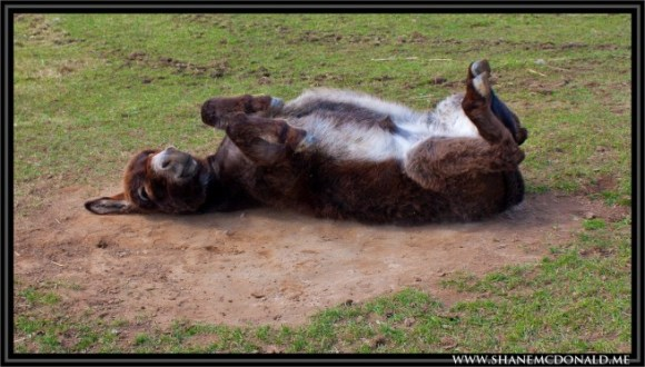 donkey-lying-down-1-655x373