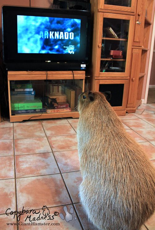 Looking forward to Sharknado 5: The Capybara-ing