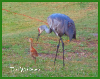 Kitten Meets Sandhill Cranes First Time