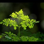 sddefault 5 - The Moringa Weight Loss System EXPLAINED