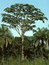 Yohimbe tree bark