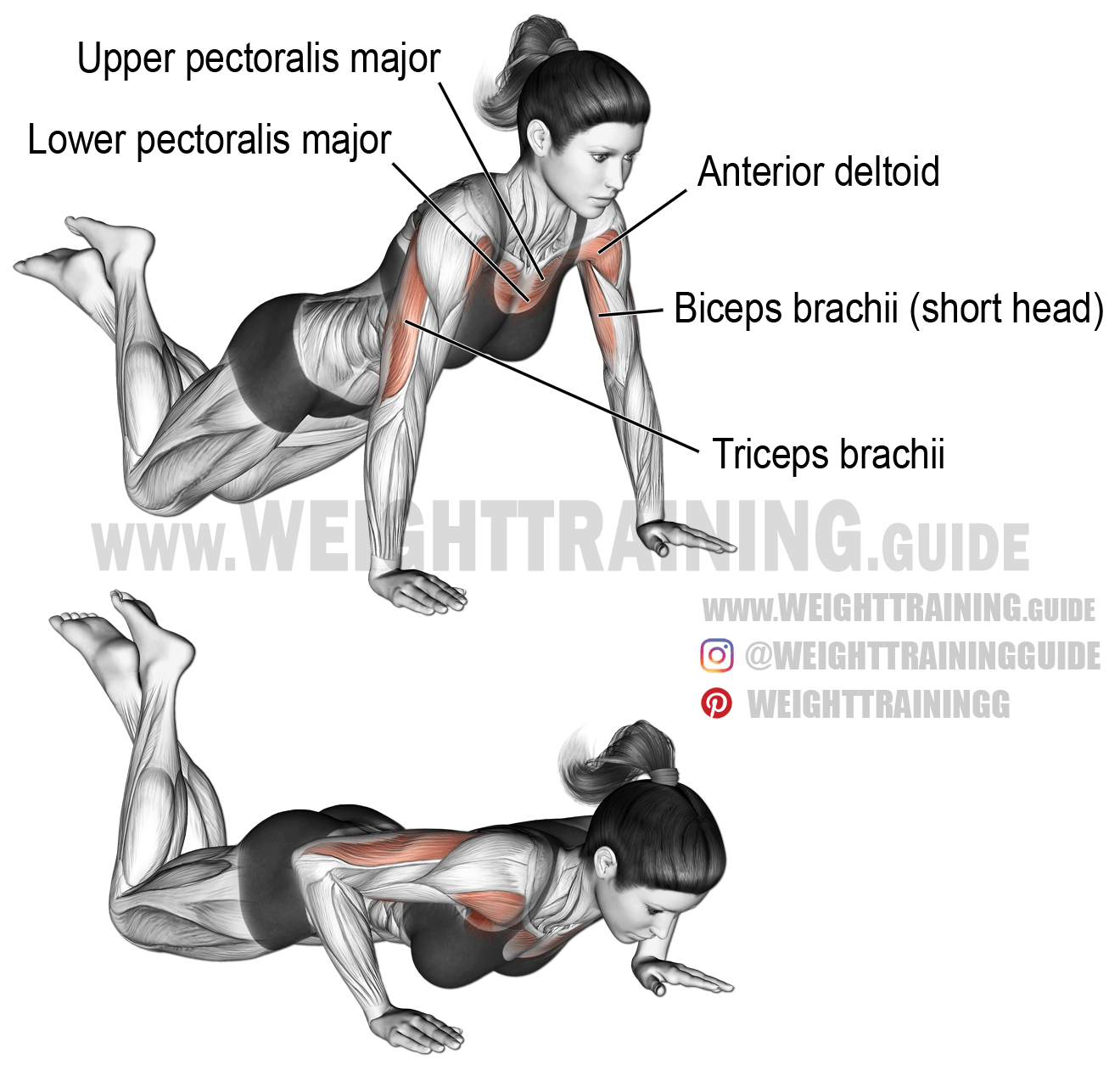 triceps brachii diagram tekonsha primus wiring knee push up exercise instructions and video weight