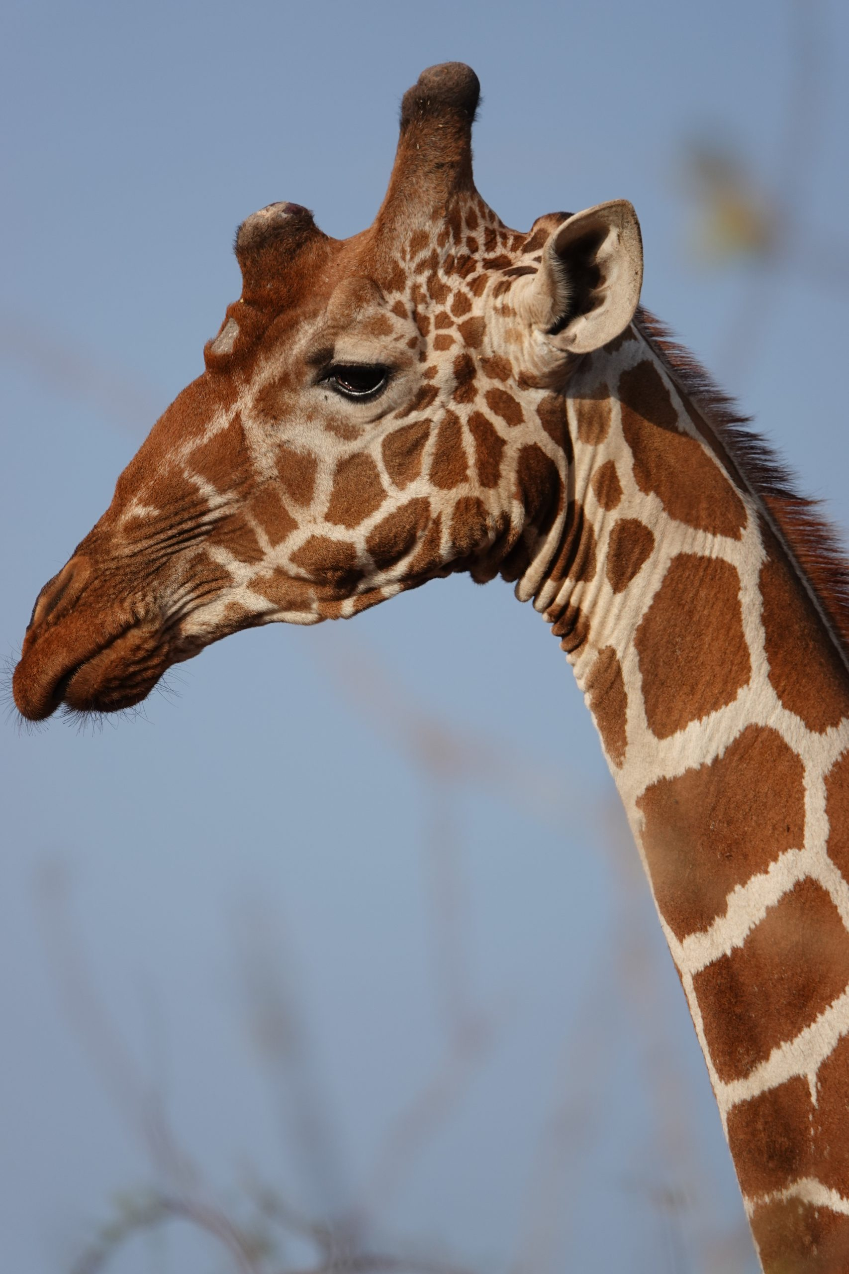 Giraffe Facts to explore & learn. Weiler Woods for Wildlife