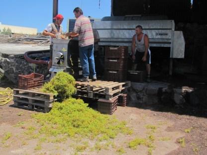 Ernte im Weingut Hatzidakis