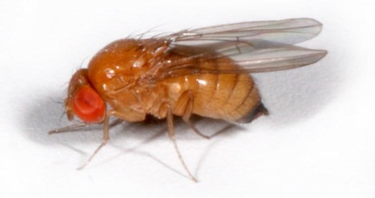 Kirschessigfliege – Drosophila suzukii