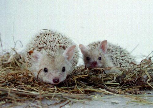 Pygmy Egyptian Hedgehog