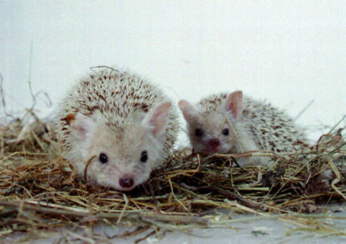 The pygmy Egyptian hedgehog