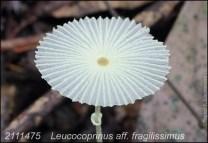 Leucocoprinus Aff. Fragilissimus
