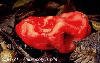 Paurocotylis Pila