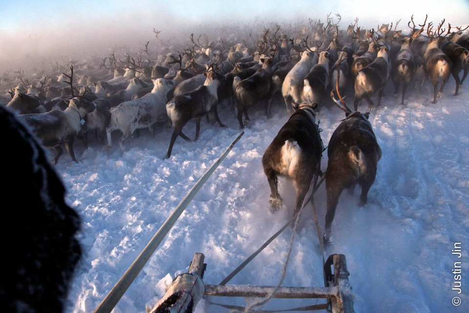 A Nenets herder collects his reindeers in -40C (-40F) in the Arctic tundra outside in the Russian Nenets Autonomous Region. They are the original inhabitants in the Russian Arctic before being displaced by Soviet collectivisation and modern gas and oil exploration.  The herders sell the meat to sausage factories and the antlers to China for use as traditional medicine.