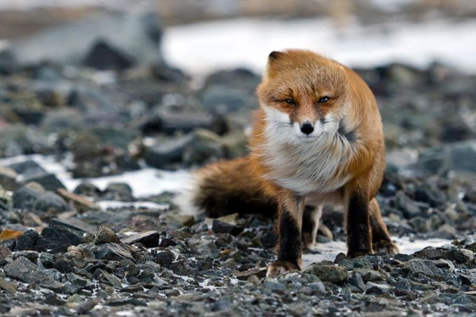 foxes21