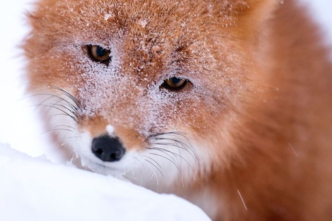 foxes22