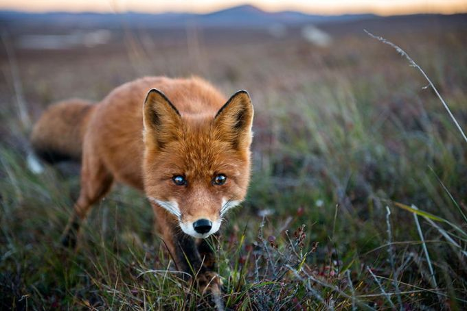 foxes8