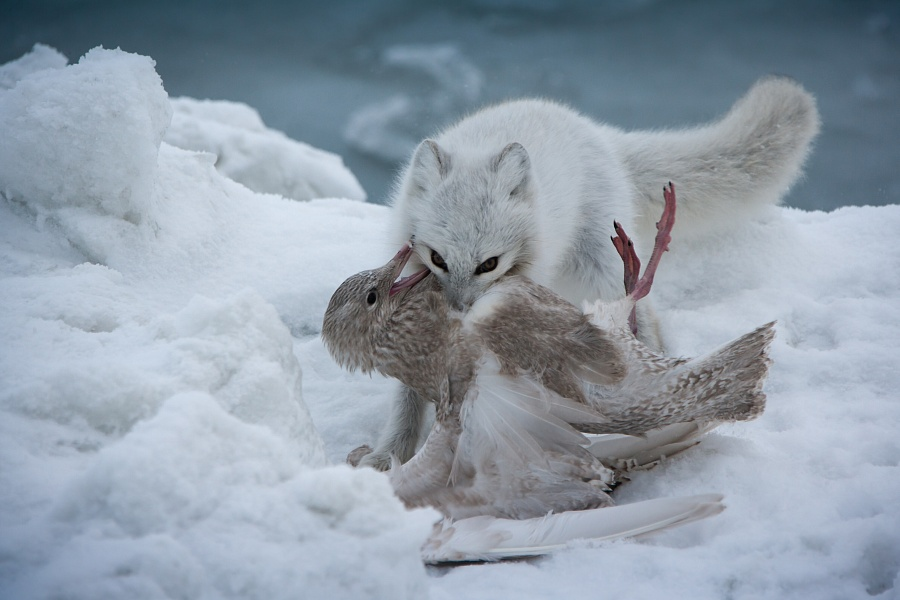 """""""Harsh laws of the Arctic"""" by Konstantin Lemeshev"""
