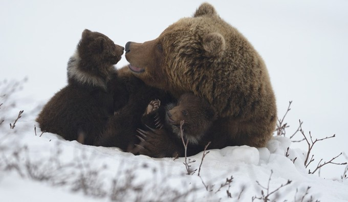 bears_kamchatka3