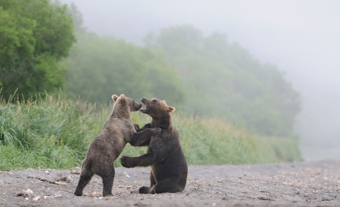 bears_kamchatka99