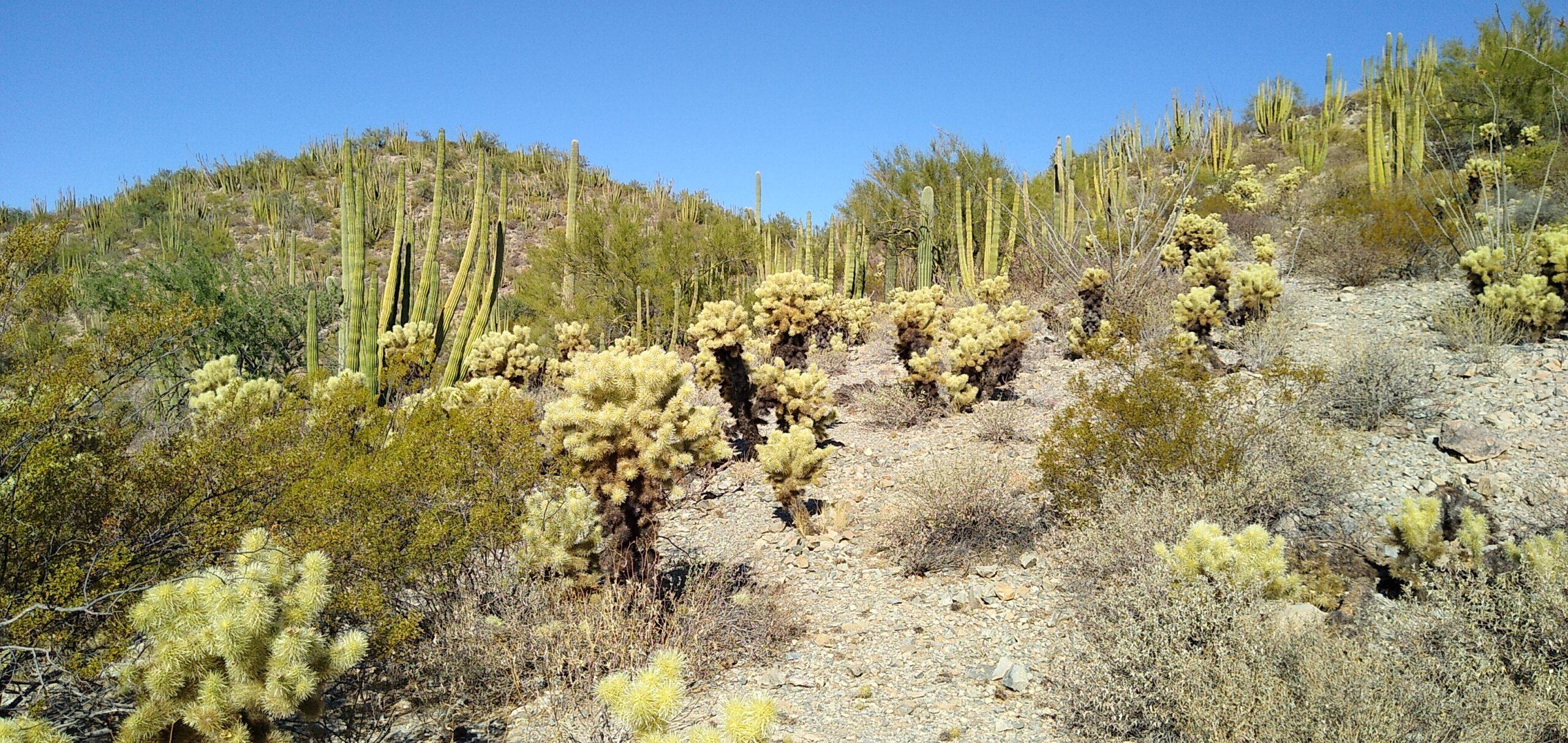Organ Pipe and Cholla cacti